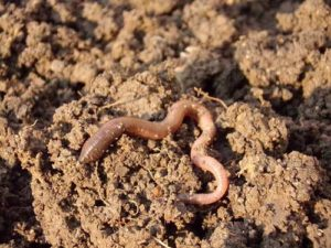 Der Regenwurm - ein nützlicher Helfer bei der Bodenbearbeitung