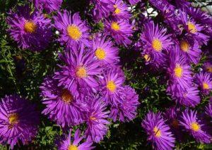 Die Aster - eine der beliebtesten Herbstblumen