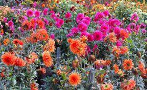 Eine herbstliche Blütenpracht ist mit den richtigen Herbstblumen nicht schwer