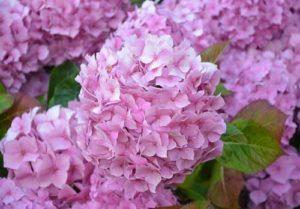 Hortensien versprühen pure Romantik im Herbstgarten