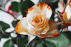 Rosendünger - wichtige Nahrung um die Rosen zum Strahlen zu bringen