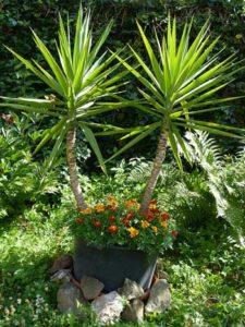 Yucca-Palme: Riesen-Palmlilie