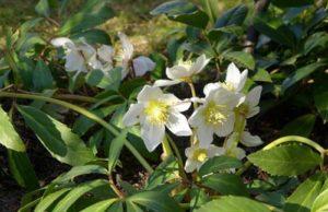 Christrose oder Schneerose - ein beliebter Winterblüher