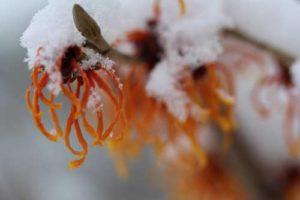 Zaubernuss unter Schnee - keine Sorge, den Blühten der winterblühenden Pflanzen kann der Schnee nichts anhaben