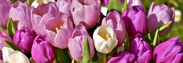 Wenn die Tulpen blühen ist der Frühling richtig angekommen
