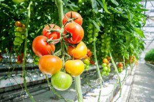 Tomaten im Gewächshaus