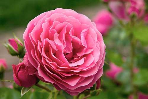 Richtige Rosenpflege im Sommer wird mit schöne Rosenblüten belohnt