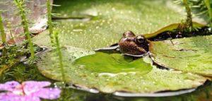 Gartenteich mit Frosch