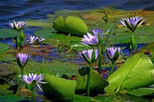 Wasserpflanzen dürfen im Gartenteich nicht fehlen