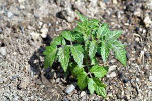 Die kleine Tomatenpflanze wächst am besten in einem Tomatenhaus