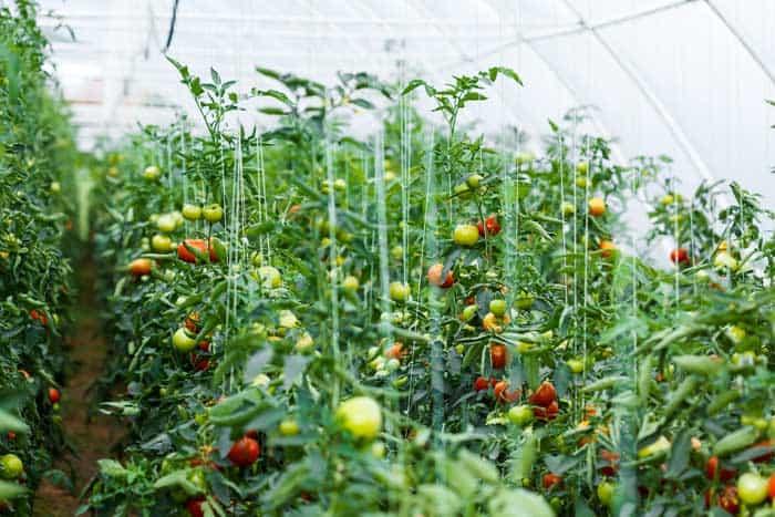 Großes Tomatenhaus mit vielen Tomatenpflanzen